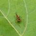 Phylloscyrtus intermedius - Photo (c) Paul, todos os direitos reservados, uploaded by creaturesnapper