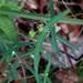 Euphorbia macropus - Photo (c) Lex García, all rights reserved