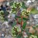 Euphorbia lasiocarpa - Photo (c) Lex García, todos los derechos reservados
