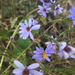 Late Purple Aster - Photo (c) Hope Gehle, all rights reserved