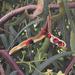 Acacia salicina - Photo (c) Refugio Loya de Zepeda, כל הזכויות שמורות
