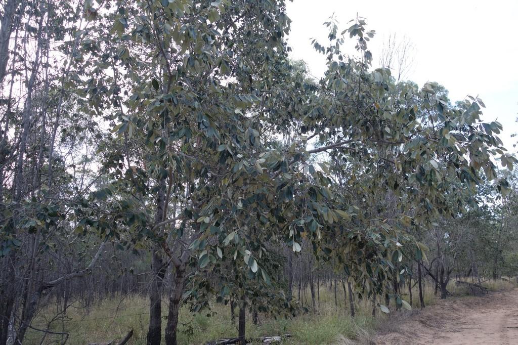 Red Ash (Plants of Goonderoo Bush Heritage Reserve ) · iNaturalist org