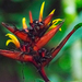 Heliconia mathiasiae - Photo (c) Janie Braud, todos los derechos reservados