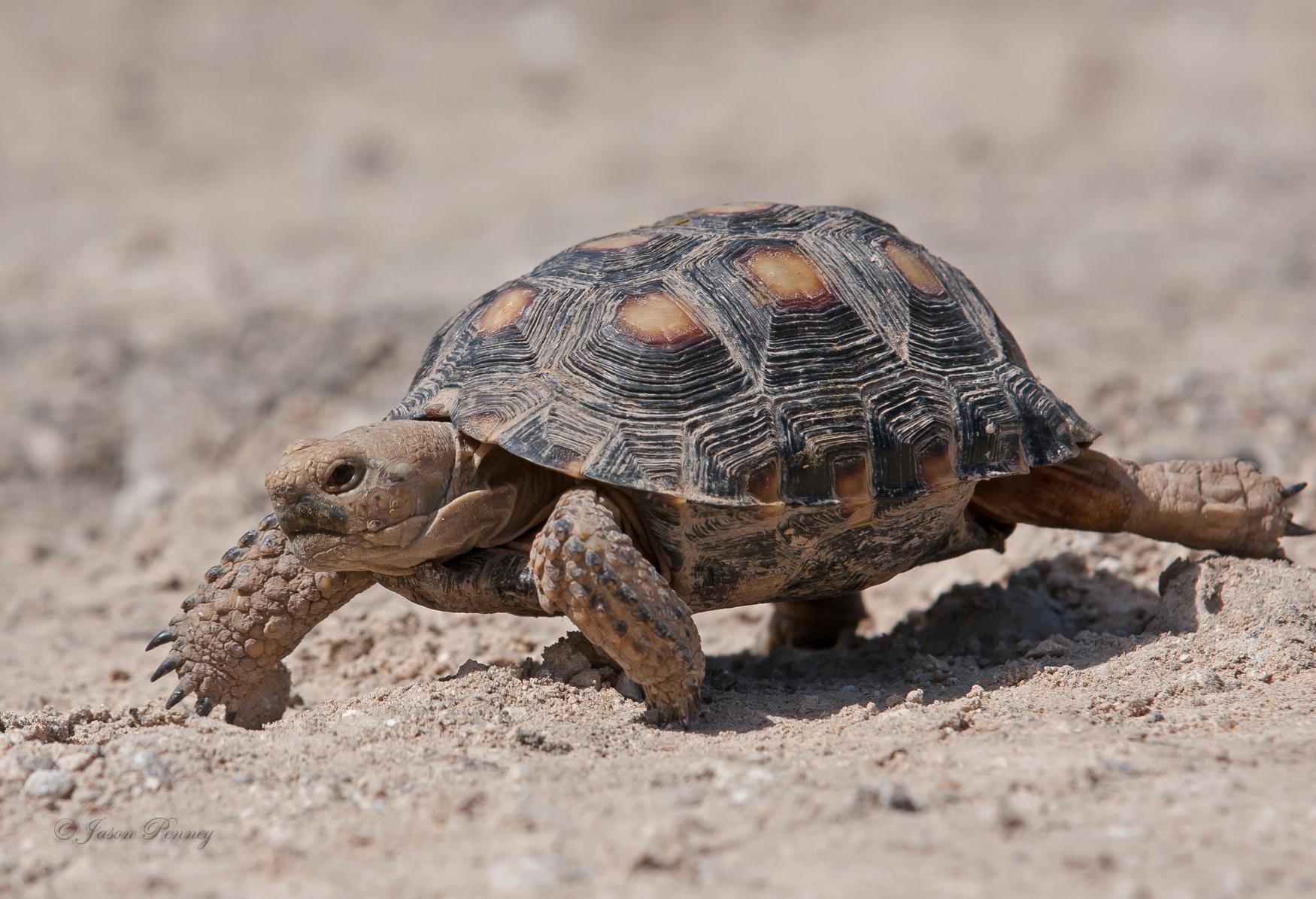 Tortuga del Desierto de Tamaulipas (Gopherus berlandieri) · NaturaLista
