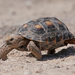 Gopher and Desert Tortoises - Photo (c) Jason Penney, all rights reserved