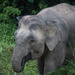 Bornean Elephant - Photo (c) M. Omick, all rights reserved