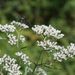 Tall Boneset - Photo (c) Eric Hunt, all rights reserved
