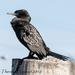 Phalacrocorax sulcirostris - Photo (c) Theresa Bayoud, όλα τα δικαιώματα διατηρούνται