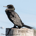 Little Black Cormorant - Photo (c) Theresa Bayoud, all rights reserved