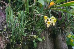 Catasetum viridiflavum image