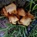 Gymnopilus cyanopalmicola - Photo (c) Jesús Baca, todos los derechos reservados