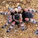 Smith's Redknee Tarantula - Photo (c) arachnida, all rights reserved