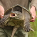Typical Snapping Turtles - Photo (c) J. N. Stuart, some rights reserved (CC BY-NC-ND), uploaded by James N. Stuart