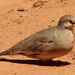 Picuí Ground Dove - Photo (c) Germaine Alexander Parada, all rights reserved