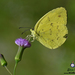 Grass Yellows - Photo (c) Stijn De Win, all rights reserved