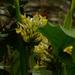 Goeppertia marantifolia - Photo (c) Homero Bennet, todos los derechos reservados