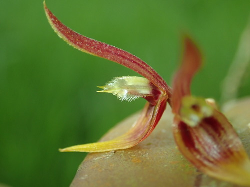 Acianthera found living in Ecuador. Learn more about the Orchids of Ecuador