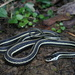 Western Ribbon Snake - Photo (c) ericandreptile, all rights reserved