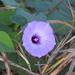 Ipomoea × leucantha - Photo (c) Daniel, kaikki oikeudet pidätetään