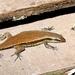 Eutropis rudis - Photo (c) Harm Ormel, todos los derechos reservados