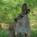 Western Grey Kangaroo - Photo (c) Logan Robinson, all rights reserved
