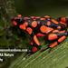 Harlequin Poison Frog - Photo (c) juanmanuel, all rights reserved, uploaded by Juan Manuel Cardona Granda