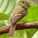Acadian Flycatcher - Photo (c) rudygelis, all rights reserved