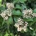 Ardisia escallonioides - Photo (c) Madison m, kaikki oikeudet pidätetään