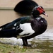 Domestic Muscovy Duck - Photo (c) Nariman, all rights reserved