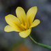 Moraea ochroleuca - Photo (c) Tig, כל הזכויות שמורות
