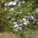 Mexican Cypress - Photo (c) Juan Carlos Garcia Morales, all rights reserved