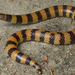 Desert Banded Snake - Photo (c) Adam Brice, all rights reserved