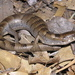 Arizona Alligator Lizard - Photo (c) Billy Griswold, all rights reserved