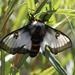 Nevada Buck Moth - Photo (c) Robert Luke, all rights reserved