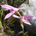 Disa obliqua obliqua - Photo (c) Tig, all rights reserved
