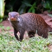 Southern Banded Mongoose - Photo (c) Don-Jean Léandri-Breton, all rights reserved