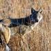 Canis adustus adustus - Photo (c) Don-Jean Léandri-Breton, todos los derechos reservados