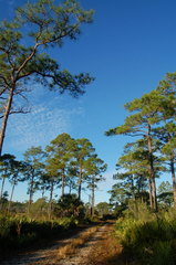 Slash Pine - Photo (c) Peter Kleinhenz, all rights reserved, uploaded by petekleinhenz