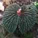 Begonia ruthiae - Photo (c) Rudi Amit, todos los derechos reservados