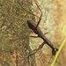 Tricondyla nigripalpis - Photo (c) David Beadle, όλα τα δικαιώματα διατηρούνται, uploaded by dbeadle