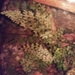 Limestone Spleenwort - Photo (c) Chris Kropke, all rights reserved