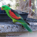 Red-winged Parrot - Photo (c) Theresa Bayoud, some rights reserved (CC BY-NC-ND)