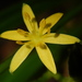 Swamp Star Grass - Photo (c) Jeff Stauffer, all rights reserved