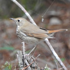 Hermit Thrush - Photo (c) brettmoyer, all rights reserved