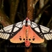 Underwing, Tiger, Tussock, and Allied Moths - Photo (c) Roger C. Kendrick, all rights reserved