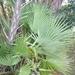 Acoelorraphe wrightii - Photo (c) Jay L. Keller, todos os direitos reservados