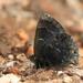 Mariposa Sedosa Negra - Photo (c) Julio Alejandro Álvarez Ruiz, todos los derechos reservados