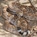 Western Diamondback Rattlesnake - Photo (c) J. N. Stuart, some rights reserved (CC BY-NC-ND), uploaded by James N. Stuart