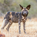 African Wild Dog - Photo (c) Pravin Nahar, all rights reserved, uploaded by P Nahar