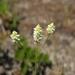 Coastal Plain Milkwort - Photo (c) Jason Sharp, all rights reserved, uploaded by SharpJ99